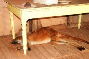 Dead kanga