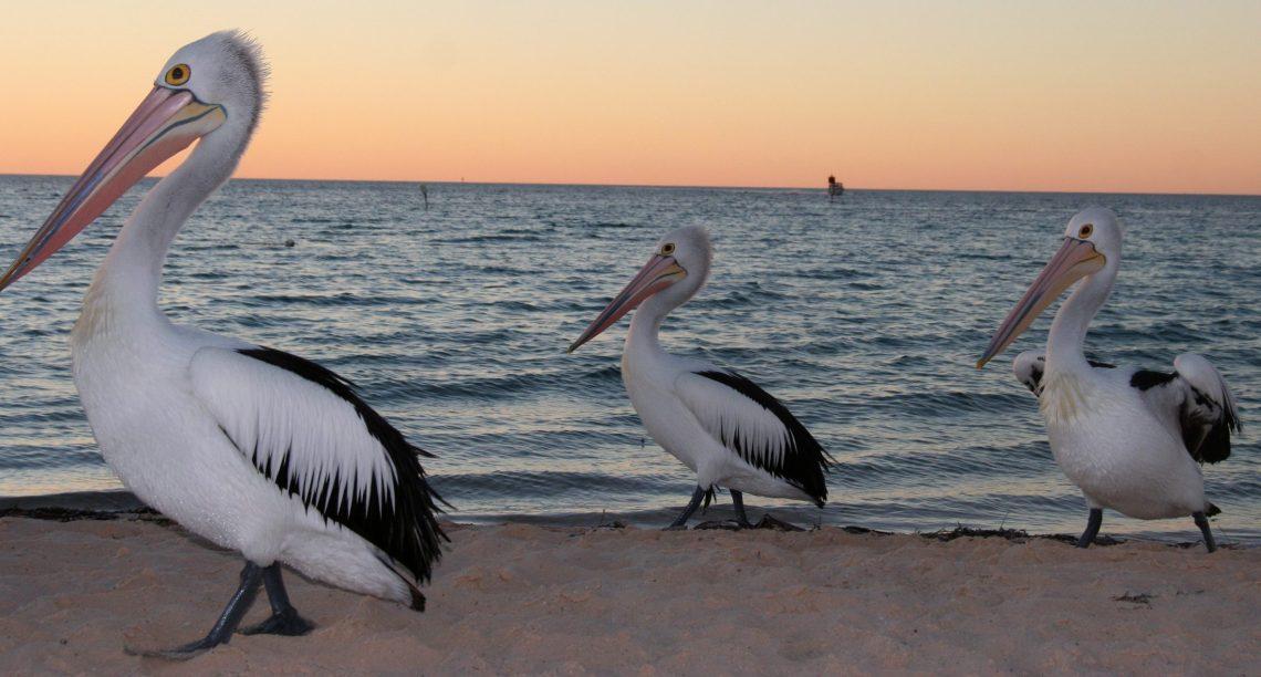 pelicansx3