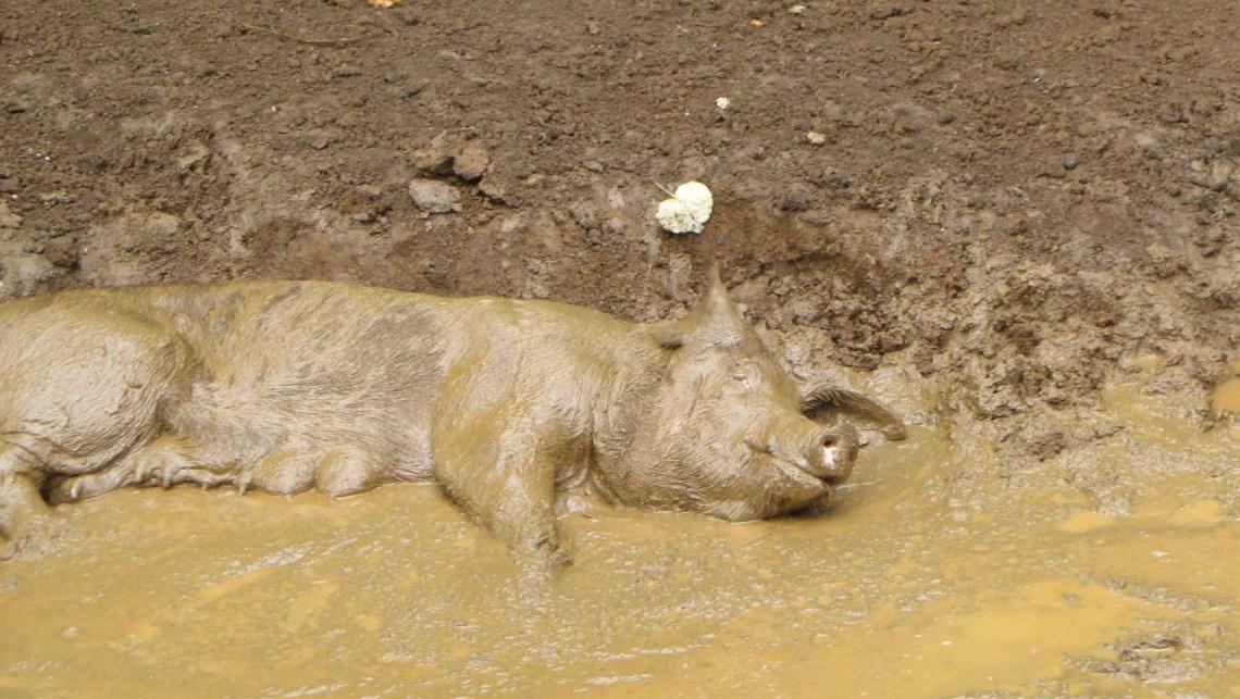 pigsleep