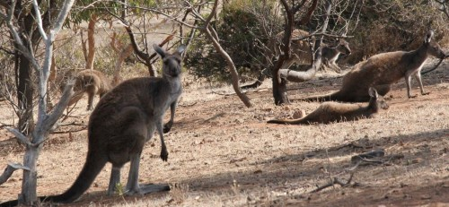 roos in scrub