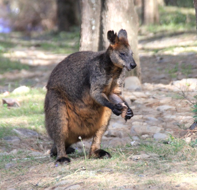 Wallaby red-neck